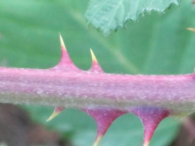 blackberrythorn