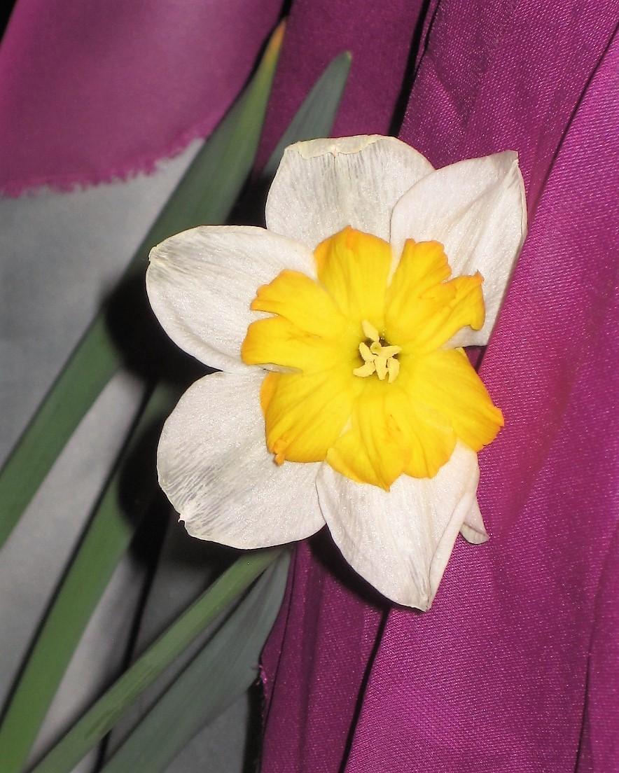 daffodil.1