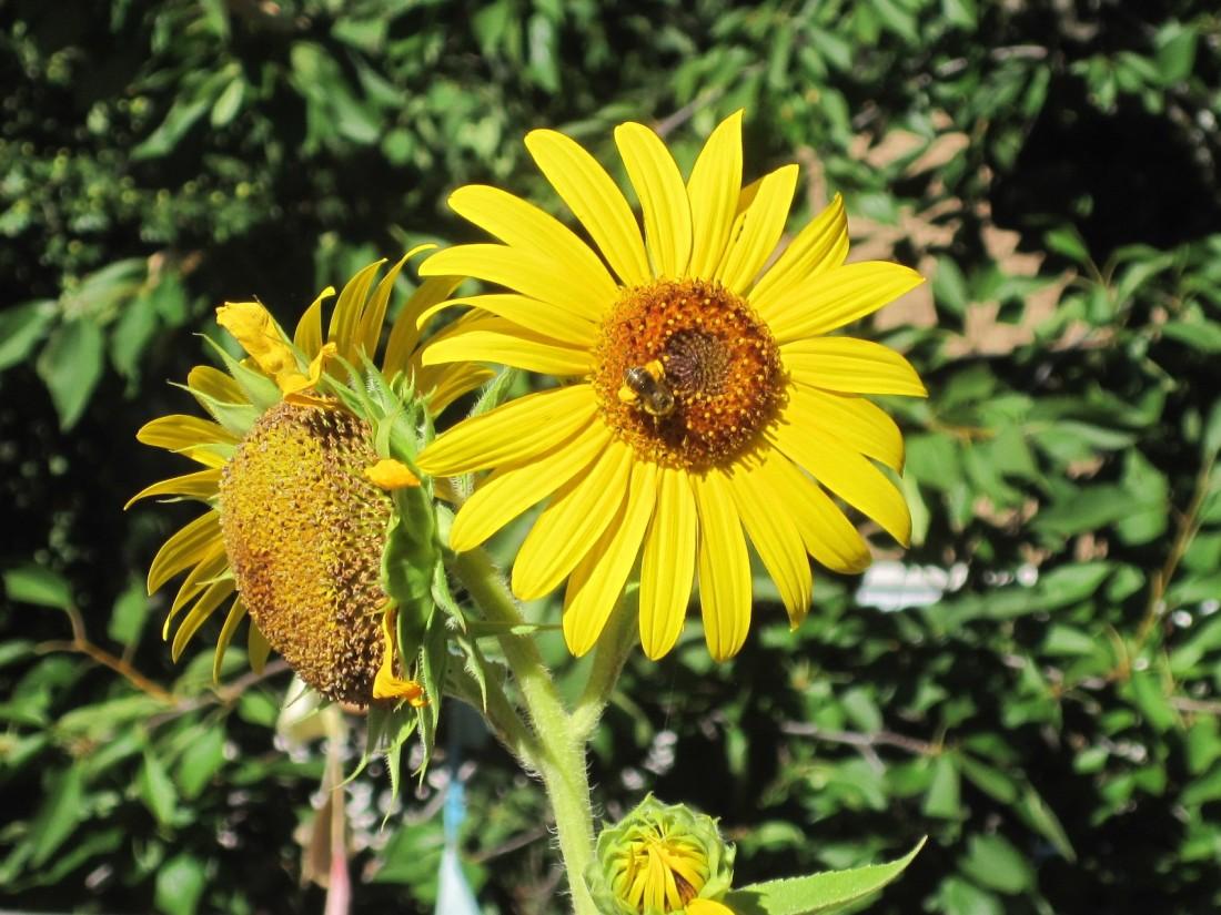 Sunflowerwithbee..jpg