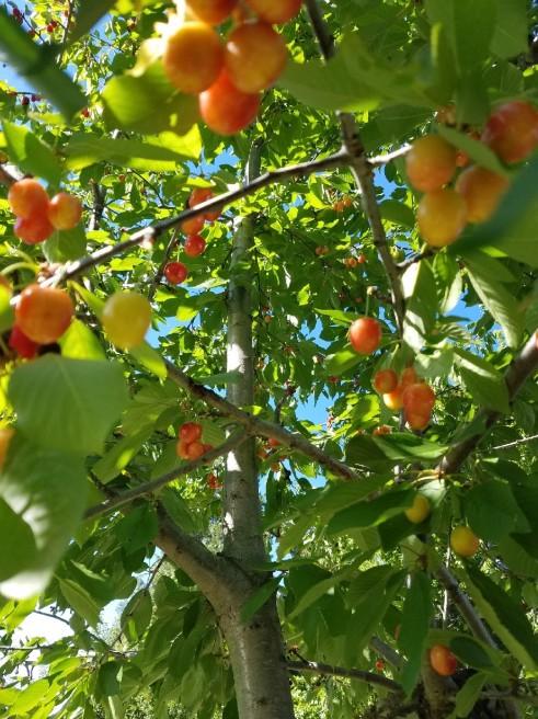 cherries.2.2019.jpg